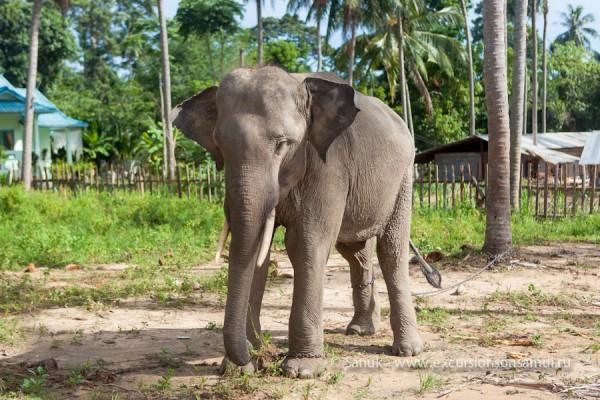 Слон - сафари парк на о. Самуи