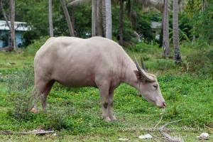 Тайский бувол