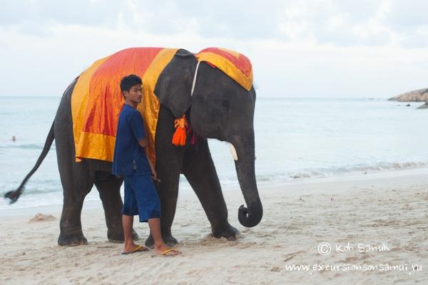 Аренда слона, остров Самуи, Таиланд