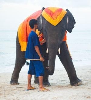 Аренда слона, Самуи