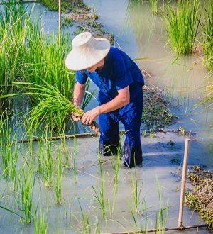 Тайский фермер, Самуи