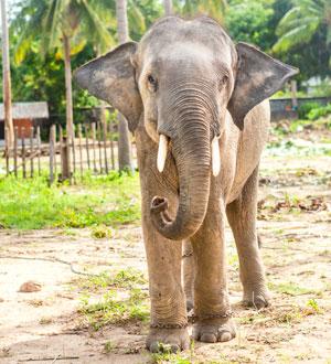 Слон в сафари-парке на о. Самуи